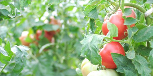 夏野菜の代名詞、トマト